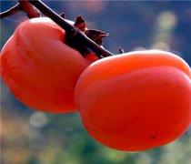 【柿子吃多了会得结石吗】柿子的营养价值_吃柿子需要注意什么