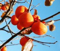 【柿子怎么保存】柿子怎么催熟_柿子的功效与作用_柿子不能和什么一起