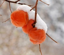 【冻柿子有营养吗】冻柿子的吃法_冻柿子不能和什么一起吃