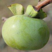 【柿子怎么吃不涩】柿子怎么保存_柿子怎么做柿饼