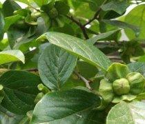 【柿子叶的功效与作用】柿子叶能治糖尿病吗_柿子叶的副作用